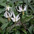 Erythronium oregonum, Paige Woodward