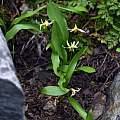 Erythronium purpurascens, Bob Rutemoeller