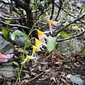 Erythronium purpurascens, Mary Sue Ittner