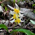Erythronium purpurascens, Mary Sue Ittner [Shift+click to enlarge, Click to go to wiki entry]