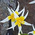 Erythronium pusaterii, John Game [Shift+click to enlarge, Click to go to wiki entry]
