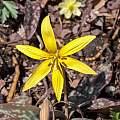 Erythronium rostratum, John Lonsdale