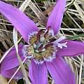 Erythronium sibiricum subsp. sulevii, Altai Mts., Andrey Dedov