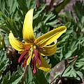 Erythronium umbilicatum, John Lonsdale