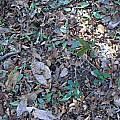 Erythronium umbilicatum, Alani Davis