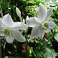 Eucharis x grandiflora, UC Botanical Garden