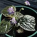 Eucodonia verticillata rhizomes, Mary Sue Ittner
