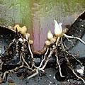 Eucomis leaf cutting, Brian Whyer