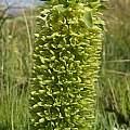 Eucomis autumnalis, Gaika's Kop, Christopher Whitehouse