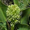 Eucomis autumnalis, Naude's Nek, Mary Sue Ittner