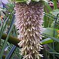 Eucomis bicolor, David Fenwick
