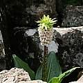 Eucomis bicolor, Sentinel Peak, Cameron McMaster