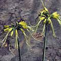Eucrosia aurantiaca, Mary Sue Ittner