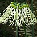 Eucrosia mirabilis, Dave Brastow