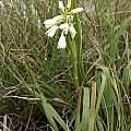 Eulophia aculeata ssp. aculeata, Gaika's Kop, Christopher Whitehouse