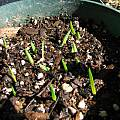 Ferraria crispa seedlings, Nhu Nguyen