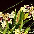 Ferraria densepunctulata, Bill Dijk