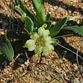 Ferraria macrochlamys, Namaqualand, Mary Sue Ittner