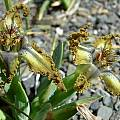 Ferraria variabilis, Cameron McMaster [Shift+click to enlarge, Click to go to wiki entry]