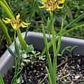Ferraria welwitschii branching, Martin Bohnet