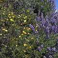 Dendromecon and Lupine, Mary Sue Ittner
