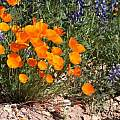 Escholzia californica and Lupine, M. Gastil-Buhl