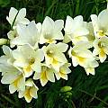 Freesia alba 'Burtoni', Peter Richardson
