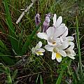 Freesia leichtlinii subsp. alba, Cameron McMaster
