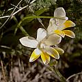 Freesia caryophyllacea, Cameron McMaster