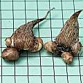 Freesia caryophyllacea corms, Mary Sue Ittner