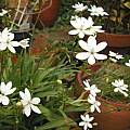 Freesia laxa, white, Sheila Burrow