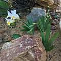 Freesia occidentalis, carinalochner, iNaturalist, CC BY-NC