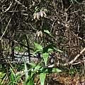 Fritillaria affinis, Point Reyes National Seashore, Nhu Nguyen