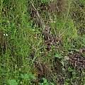Fritillaria affinis, Nhu Nguyen