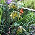Fritillaria affinis, Mary Sue Ittner