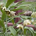Fritillaria agrestis, Jane McGary