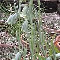 Fritillaria alfredae ssp. glaucoviridis, Jane McGary