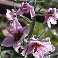 Fritillaria ariana, Jane McGary