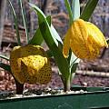 Fritillaria aurea, John Lonsdale