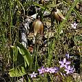 Fritillaria biflora, Figueroa Mountain, Mary Sue Ittner
