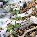 Fritillaria brandegei, Laurence Hill