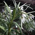 Fritillaria bucharica, Jane McGary