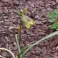 Fritillaria davidii, John Lonsdale