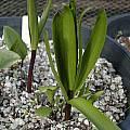 Fritillaria eastwoodiae, Dirk Wallace
