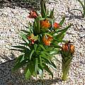 Fritillaria eduardii, John Lonsdale
