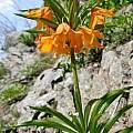Fritillaria eduardii, Oron Peri