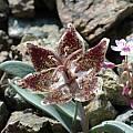 Fritillaria falcata, Mary Gerritsen