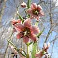 Fritillaria gibbosa,  John Lonsdale