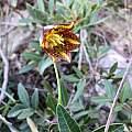 Fritillaria graeca, Stavros Apostolou, iNaturalist, CC BY-NC
