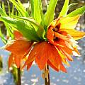 Fritillaria imperialis 'Aurora', Jamie Vande